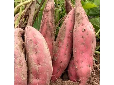山东莱阳板栗红薯产地价格实惠