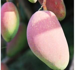 海南贵妃芒果10斤新鲜当季水果小红金龙应季青批发包邮