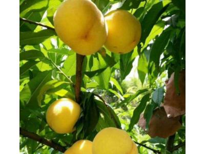 大量供应晚熟黄桃